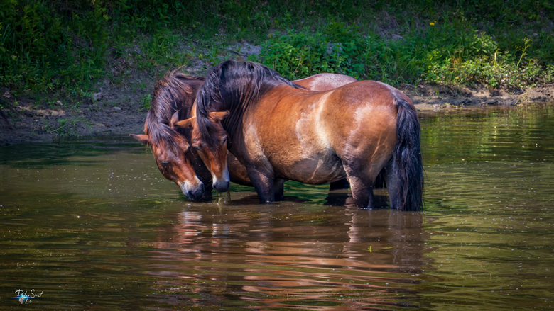 Even afkoelen.... - In de warme duinen zochten deze knikpaarden even de koelte van het water op....