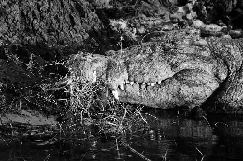 Take a bite - Een flinke krokodil op de oever van Chobe River in Chobe National Park op de grens tussen Namibië en Botswana.
