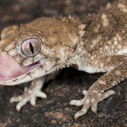 Nephrurus asper (prickly knob-tailed gecko)