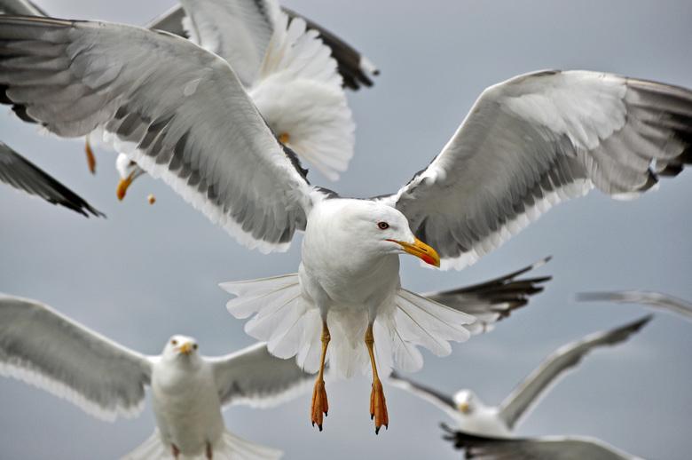 schooiende meeuwen - op de boot onderweg naar Texel een hoop schooiende meeuwen....