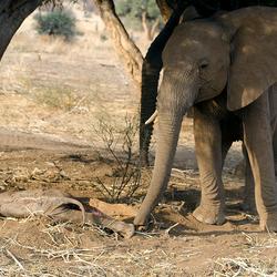 Rouwen om de dood van een jong olifantje