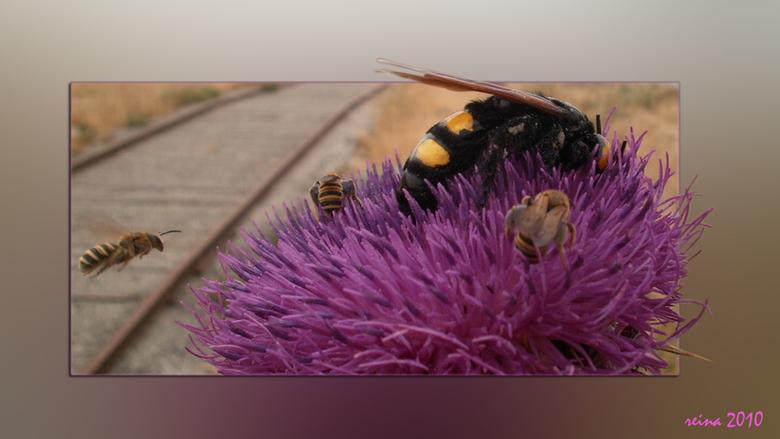 Reuze groot. - Deze wespachtige is erg groot, zeker 4 a 5 cm, je ziet het goed aan de bijen die eromheen vliegen. De distel is ook erg groot, de bloem