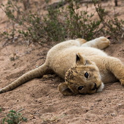 Lion cub strikes a pose - Zuid Afrika
