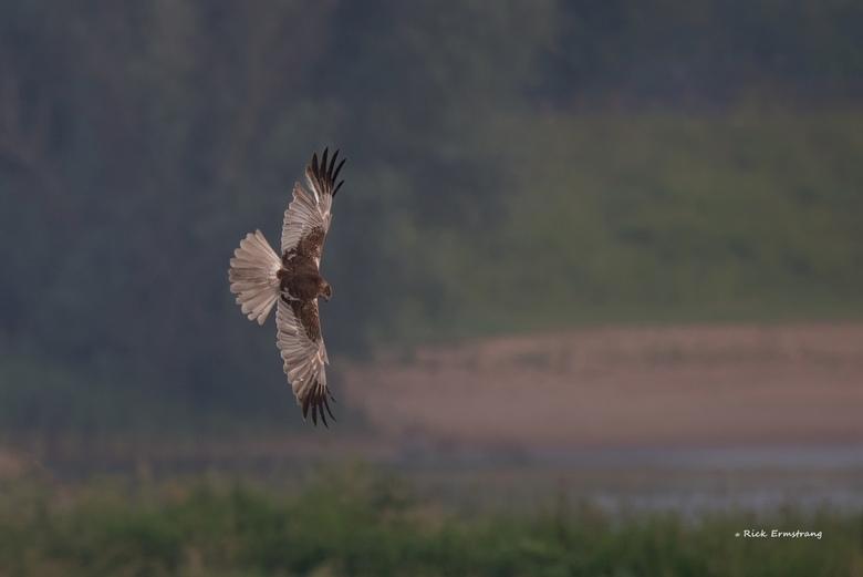 Glijvlucht - Bruine kiekedief op jacht in een mooie glijvlucht.