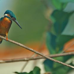 IJsvogel in Sri Lanka