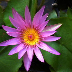 lotusbloempje