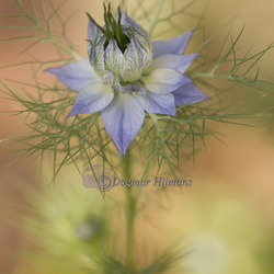 Love in a mist 'soft colors'
