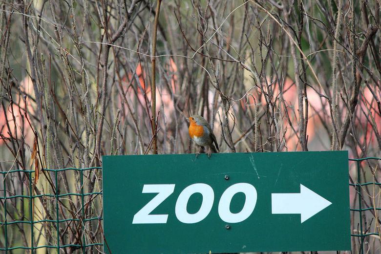 2.  roodborstje geeft richting aan? - Dit roodborstje zat als vrije vogel in de zoo. <br /> Dat kun je niet van alle vogels daar zeggen, de meeste zi