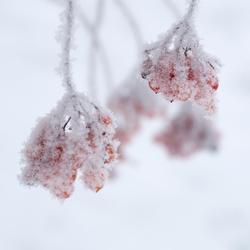 Bevroren besjes