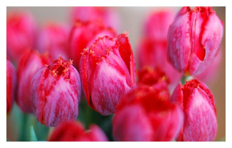 Tulpen - Dit zijn dezelfde tulpen trouwens als twee foto's terug geuploaded. Wat een verschil !