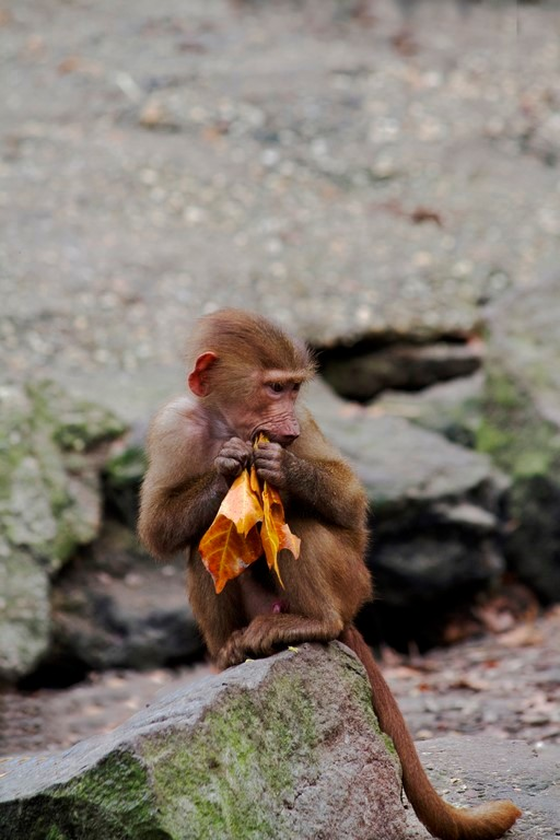 Blaadje eten - Baviaan jong aan het genieten van een lekker blaadje.