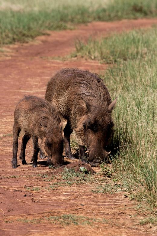 Zwijn - 2 zwijnen in Zuid Afrika