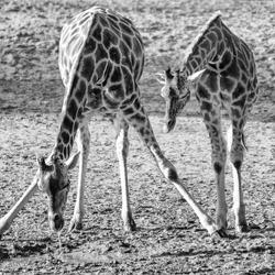 Drinkende giraf