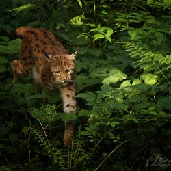 Lynx (gevangen in licht)