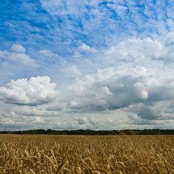 Limburgse graanvelden