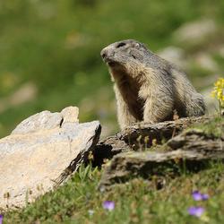 Bergmarmot