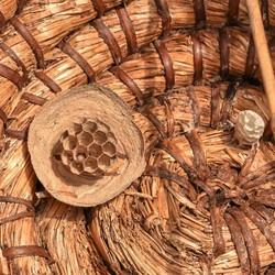 Hoornaar nest in bijenkorf
