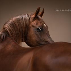 Arabian horse gucci