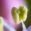 Viburnum tinus meeldraad