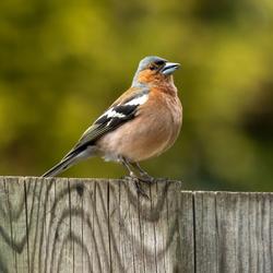 Vogels spotten in je eigen tuin... een vink...
