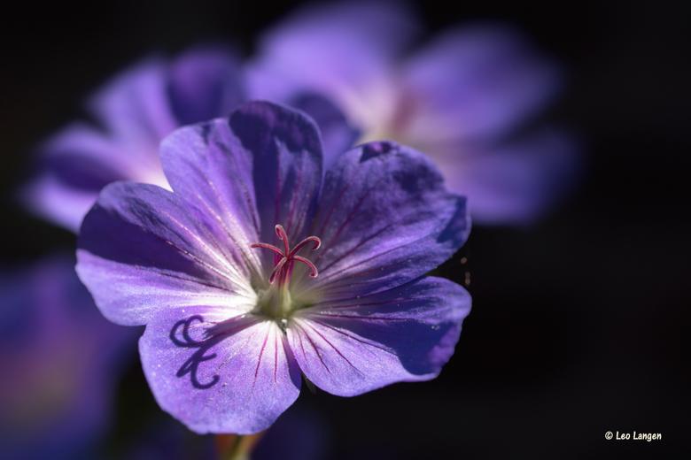 Ooievaarsbek - Nog even en ze bloeien weer.<br /> <br /> Bedankt voor de reacties op mijn vorige foto.<br /> <br /> Groetjes en fijn weekend,<br /
