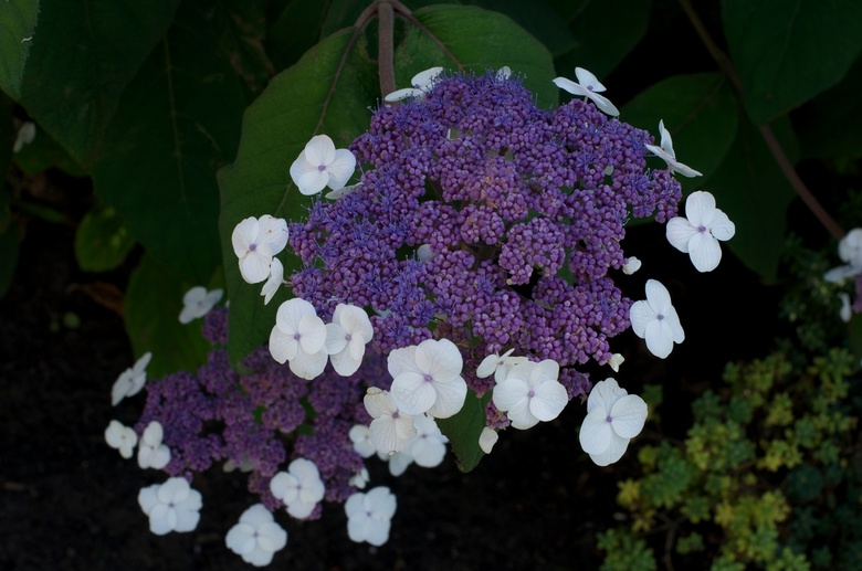 Hydrangea aspera 'Macrophylla' - Fluweel Hortensia - Fluweel Hortensia
