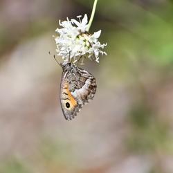 Heidevlinder in Gorges de la Nesque