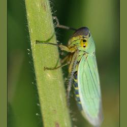 piepkleine cicade