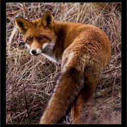 Fox....