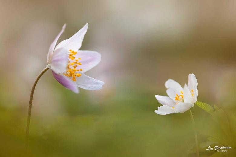 anemoontjes - Anemoontjes, De lente is begonnen.