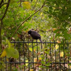 Merel op een hek
