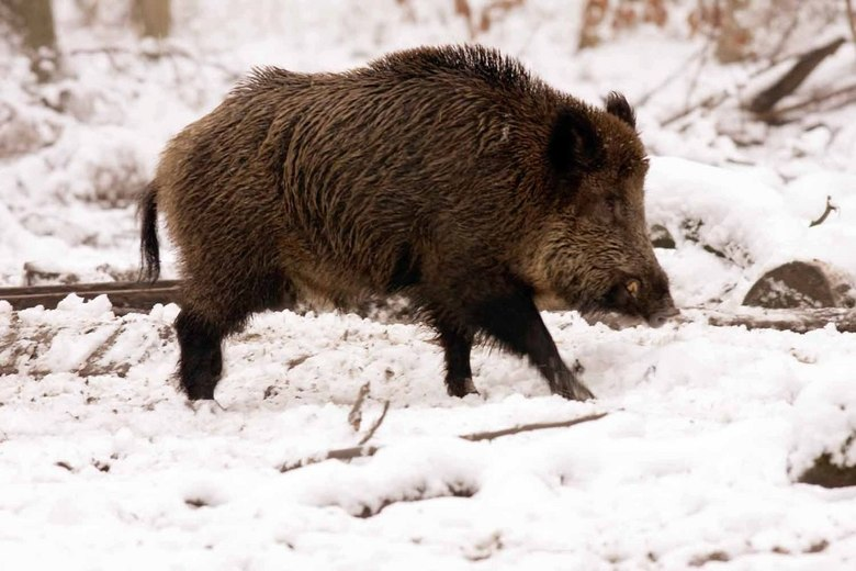 wild zwijn - wild zwijn in de sneeuw