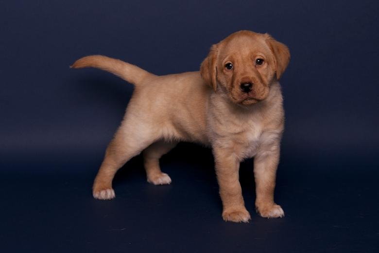 zo lieffff - nu in opleiding voor blindengeleiden hond.