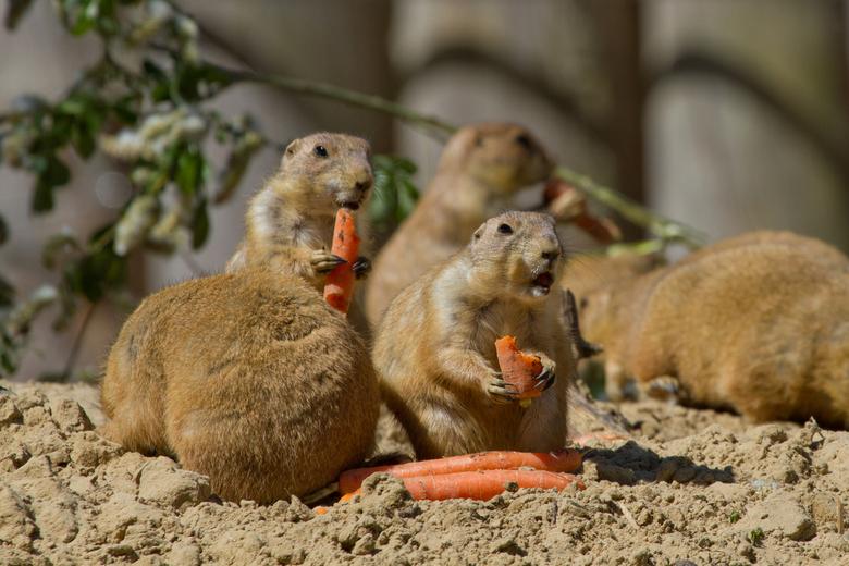 Lunch tijd!! - lekker genieten van je wel verdiende wortel @ dierentuin Emmen