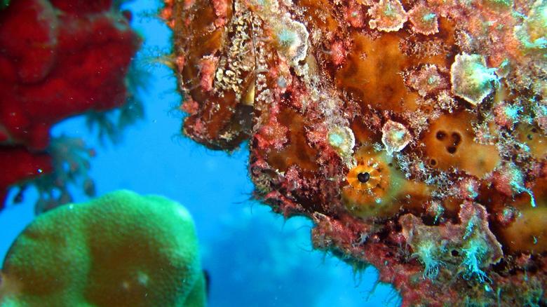 Motionless - Hengelaarsvis die beweegloos ondersteboven hangt en volledig gecamoufleerd opgaat in de omgevende koralen.