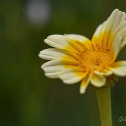 Wilde gele bloem.