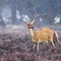 Edelhert(en) in de regen