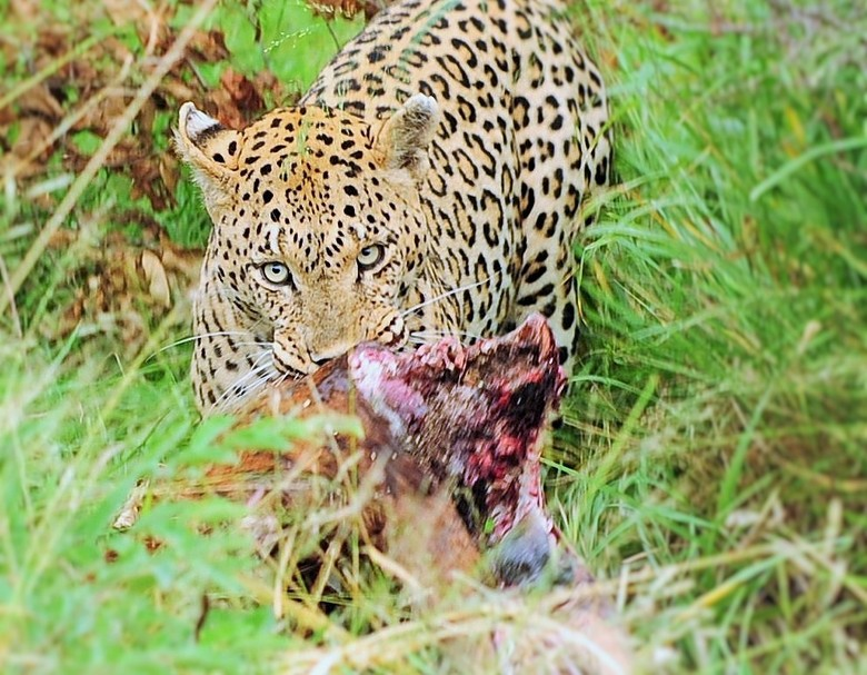 Lekkere bout - Dit luipaard hadden we de vorige avond gezien nadat hij dit bokkie te pakken haad gekregen. Het kadaver werd verstopt en ze ging in een