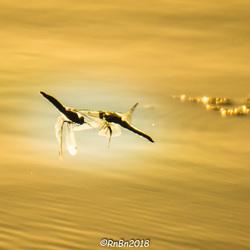 Liefdesdans der libellen