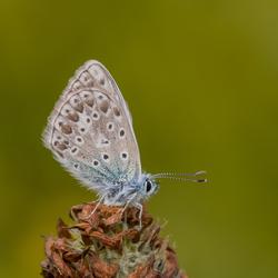 Vreemd blauwtje (Icarinus?)