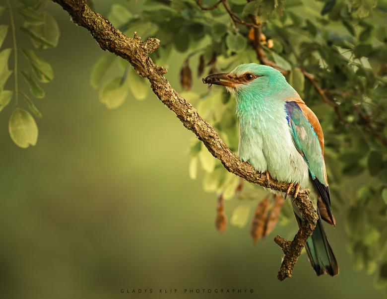 Een Scharrelaar - Een Scharrelaar in ochtendlicht. De eerste keer voor mij dat ik deze prachtige vogel mocht aanschouwen!<br /> <br /> <br /> <br /