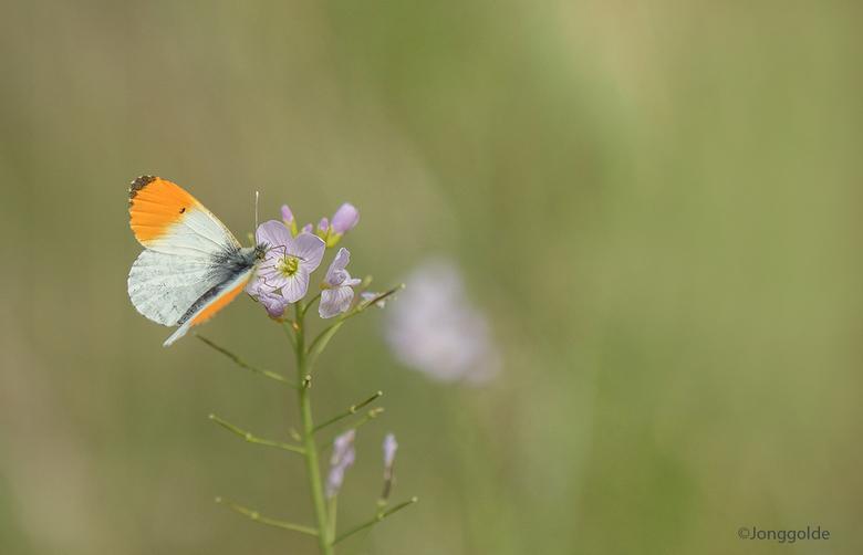 Oranjetipje ... - Zowel in Oranjezon als op de Schotsman heb ik enkele Oranjetipjes zien vliegen en ondanks de wind er toch een paar redelijke foto&#0