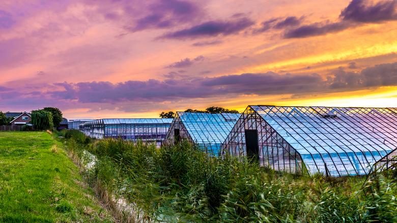 Glastuinbouw bij zonsondergang - Foto van verschillende kassen in het Westland. Aan de rechterkant zie je oude druivenkassen, waarna het overgaat in n