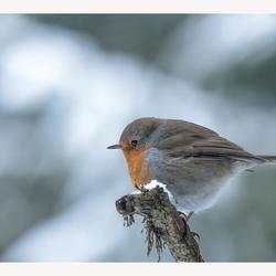 Frozen Robin.....