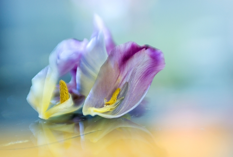Gevallen.... - Ze lagen er zo mooi, de beide tulpen blaadjes, op mijn glazen salontafel.<br /> <br /> Bedankt voor de reacties op mijn Hartentulp.<b