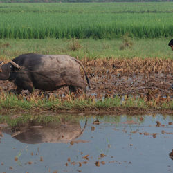 Even rijstveld omploegen