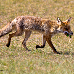 Fox on the hunt II