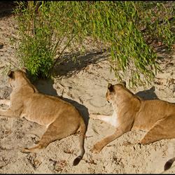 2 leeuwinnen
