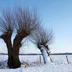 Knotwilg en cultuur in winters landschap