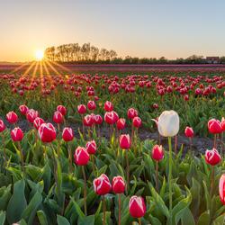 Tulpen in Wieringerwaard